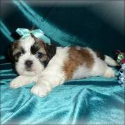 shih tzu puppies for a lovely home
