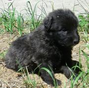 Bouvier Puppies!