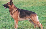 BC German Shepherd for breeders