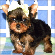 Teacup Yorkies Available